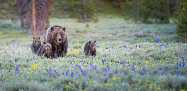 grizzly bears - wildlife conservation stock photos and pictures