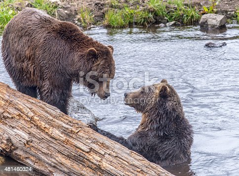 Two grizzly bears playing in water