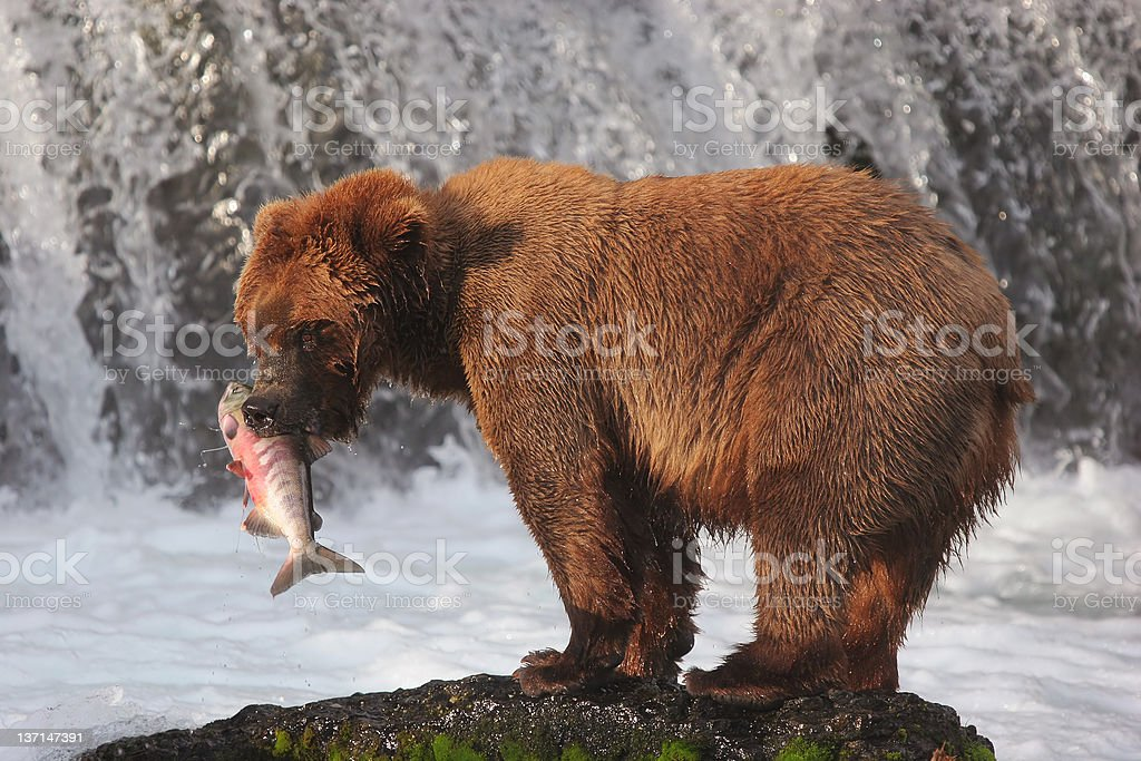 Grizzly brown bear in Brooks River, Katmai National Park, Alaska stock photo