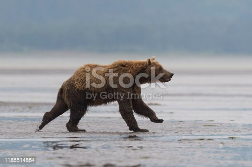 istock Grizzly, brown bear, Ursus arctos, running, Alaska 1185514854