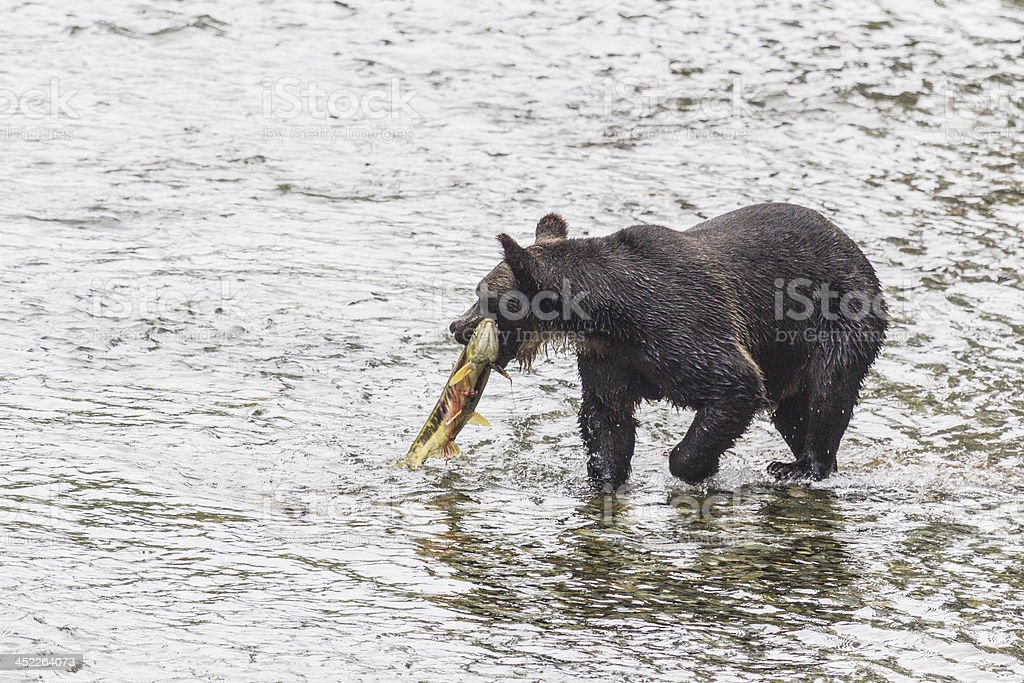 Grizzly carries her catch to shore of Fish Creek stock photo