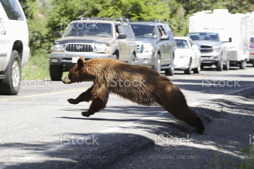 Grizzly Crossing Road at Yellowstone royalty-free stock photo