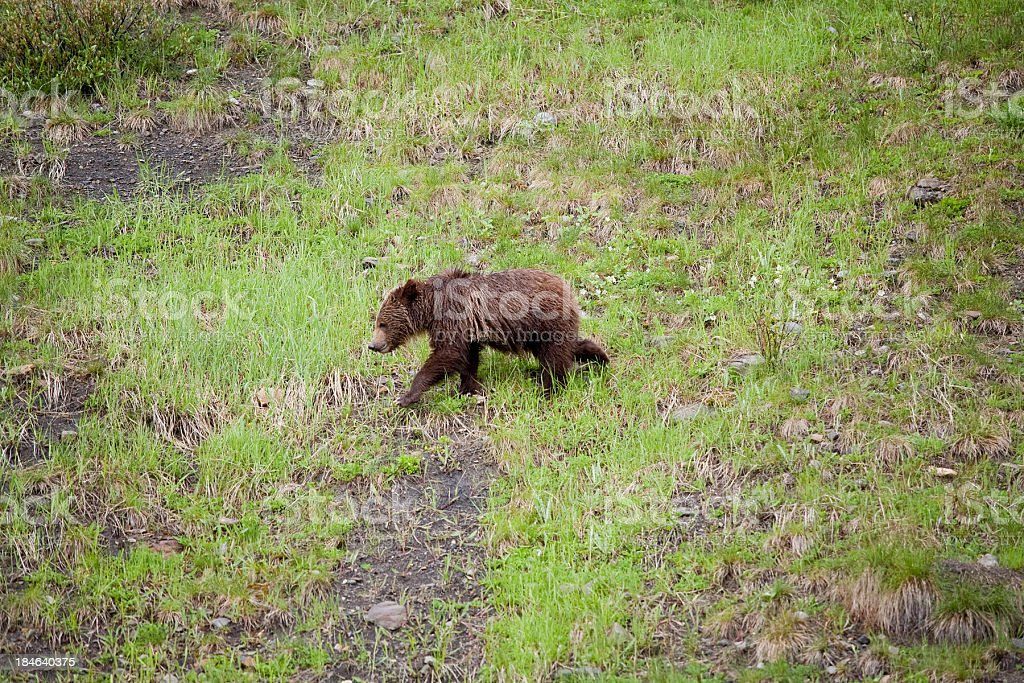 Grizzly Cub royalty-free stock photo