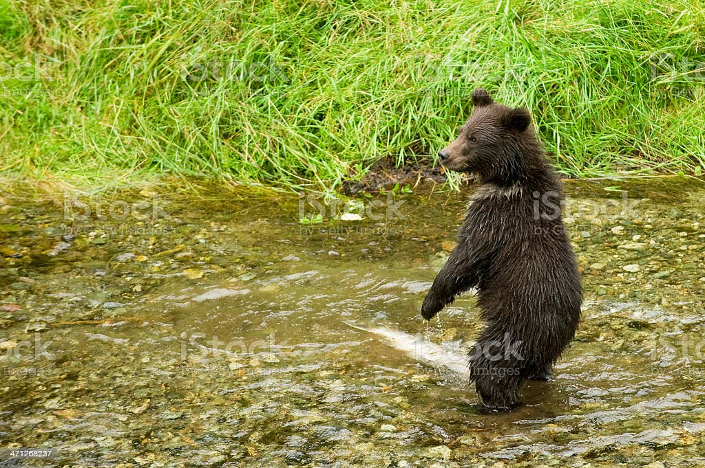 Grizzly Cub stock photo