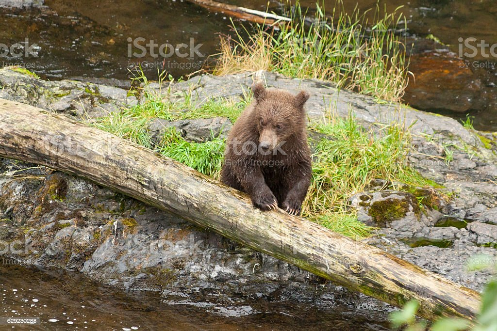 Grizzly cub waiting for mom to bring some food. stock photo