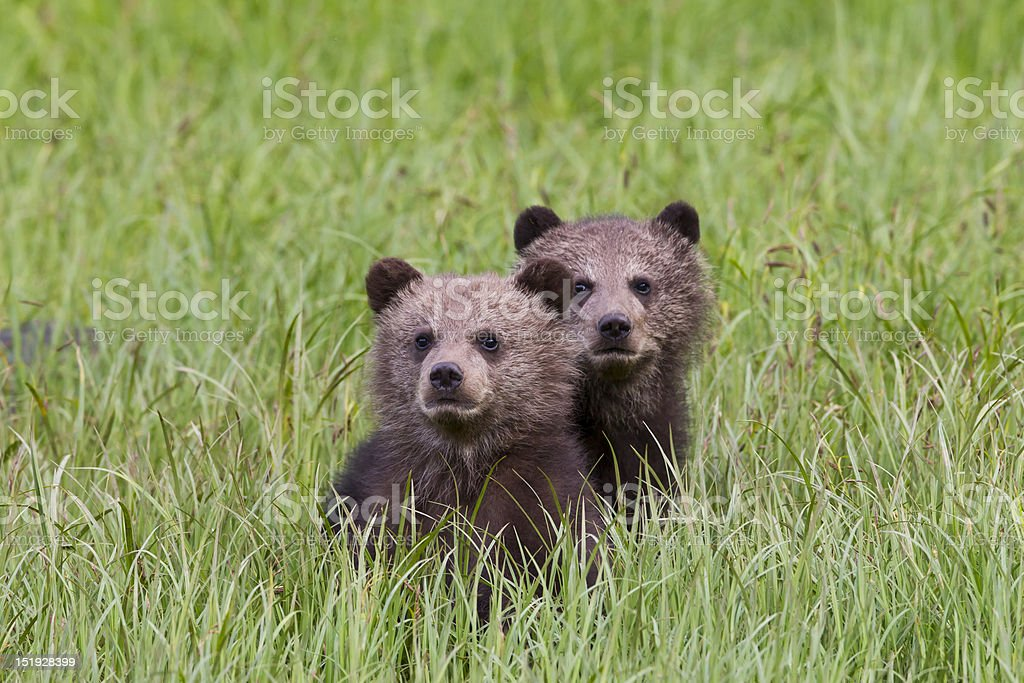 Grizzly Cubs in grass stock photo