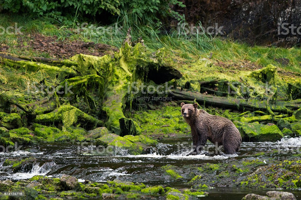 Grizzly fishing for salmon stock photo