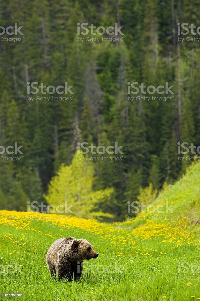 Grizzly in the Mountains stock photo