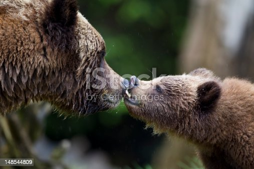 istock Grizzly Kiss 148544809