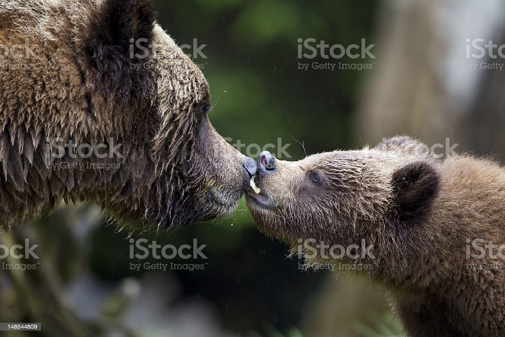Grizzly Kiss stock photo