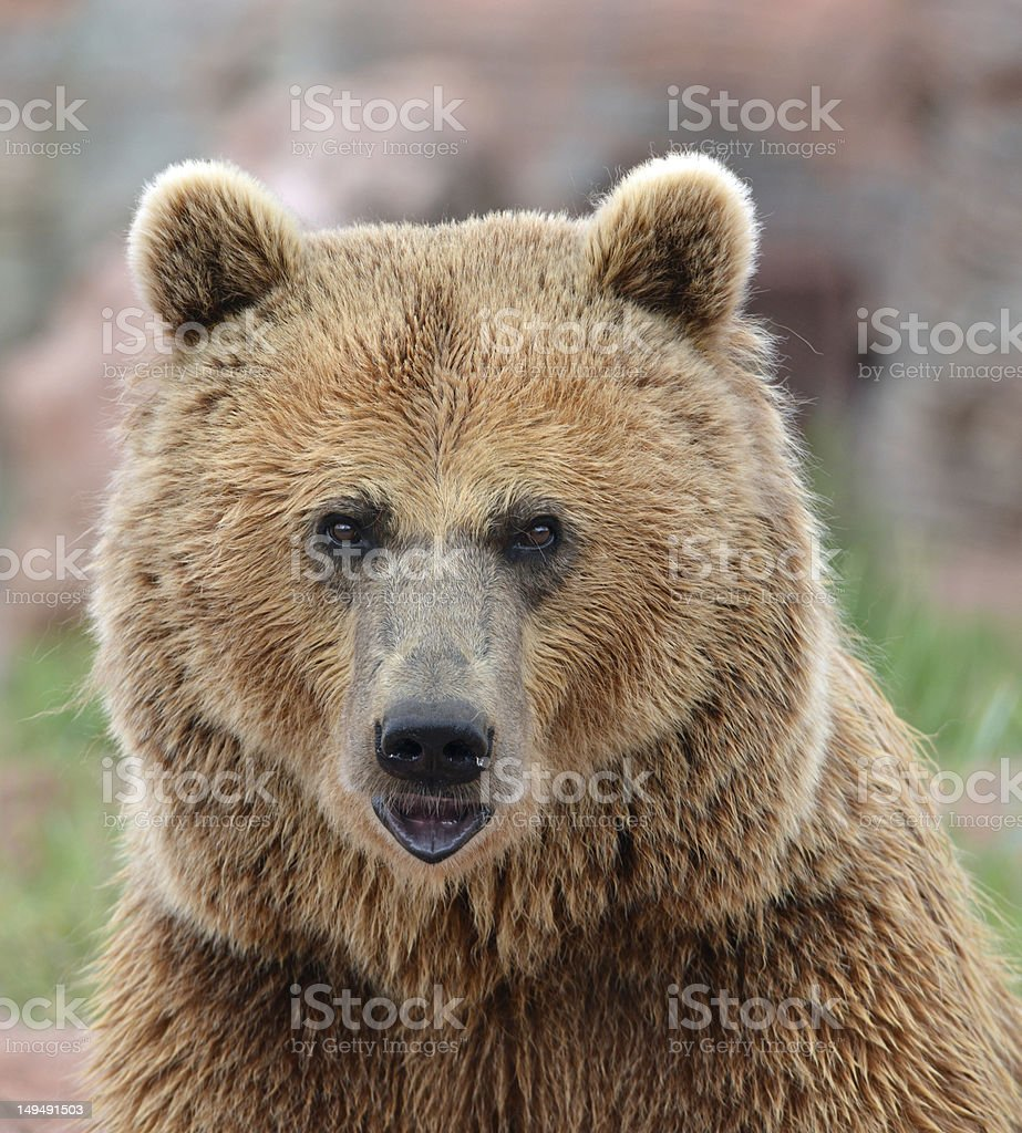 Grizzly look stock photo
