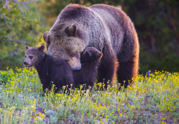 Grizzly Loving Her Babies stock photo