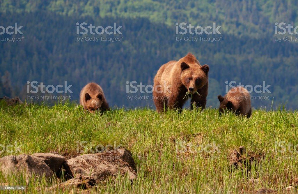 Grizzly Mother y dos cachorros en frente de la cordillera - Foto de stock de Aire libre libre de derechos