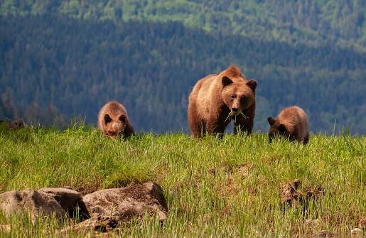 Grizzly Mother Y Dos Cachorros En Frente De La Cordillera Foto de stock y más banco de imágenes de Aire libre
