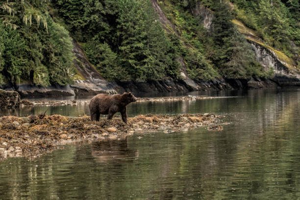 Grizzly on a beach in the Great Bear Rainforest stock photo