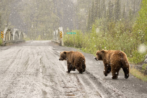 Grizzly pair walk snowy Dempster Highway Yukon Territory Tiaga Range Ogilvie Mountains stock photo