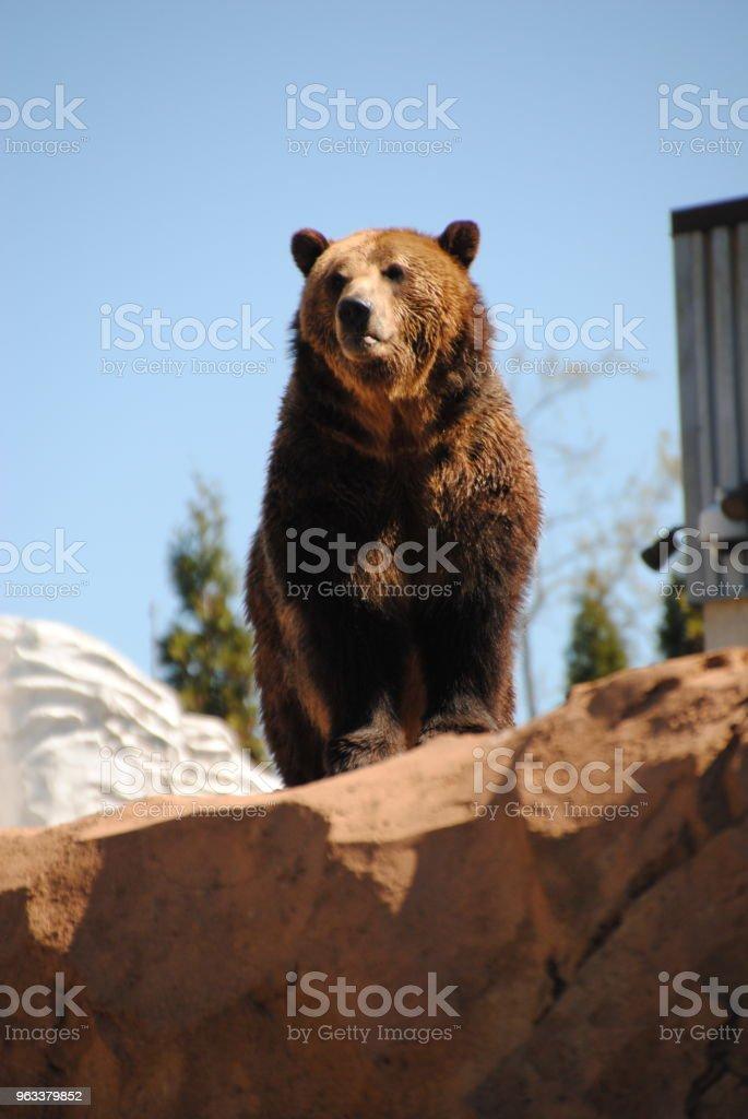 Grizzly - Zbiór zdjęć royalty-free (Bez ludzi)