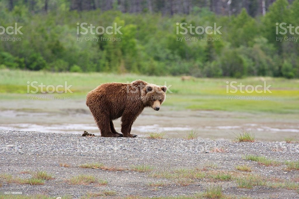 Grizzly pooping – Foto
