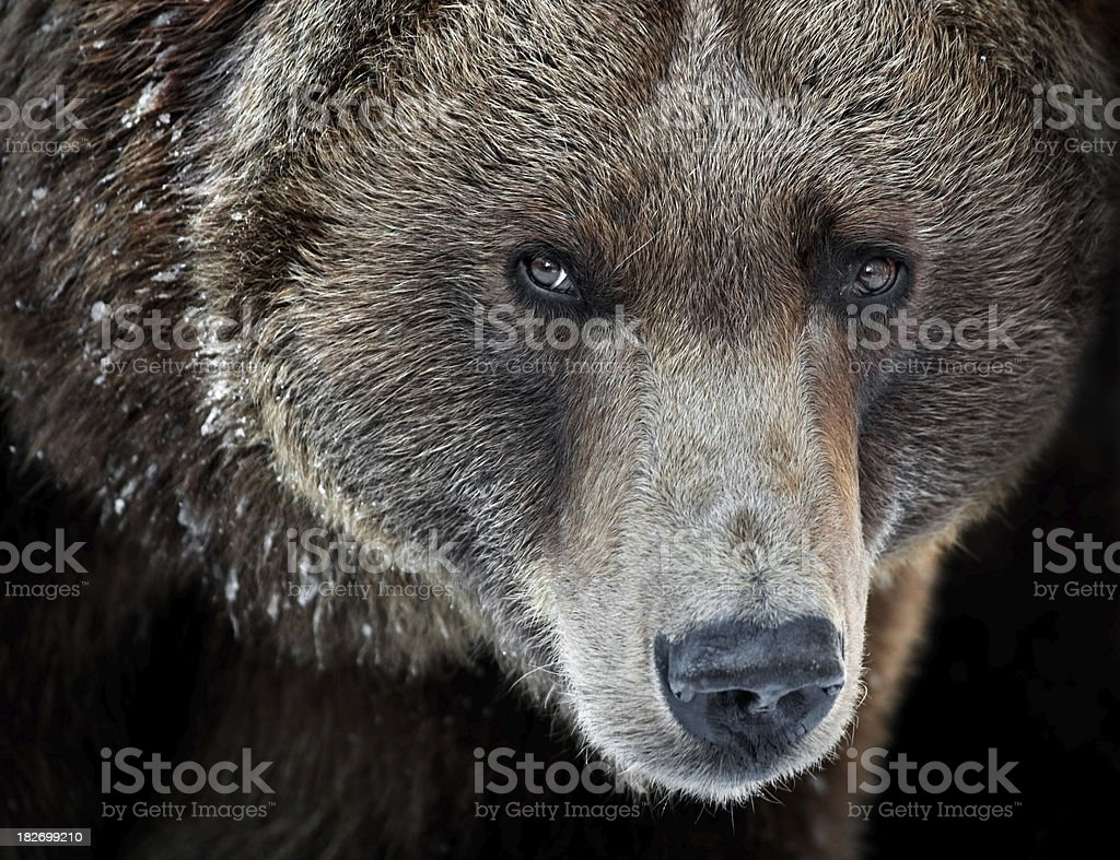 Grizzly retrato - foto de stock