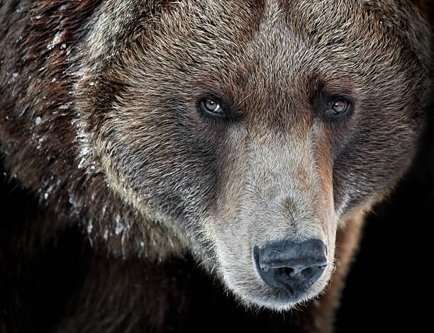 Grizzly Portrait​​​ foto