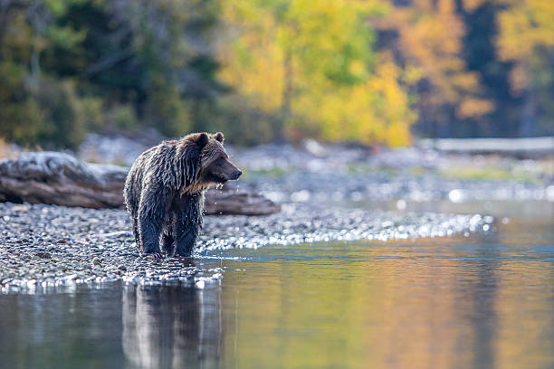 grizzly reflection and fall colour - british columbia stock pictures, royalty-free photos & images