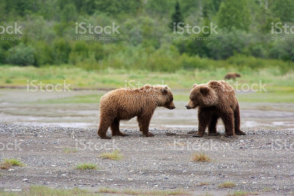 Grizzly Geschwister – Foto