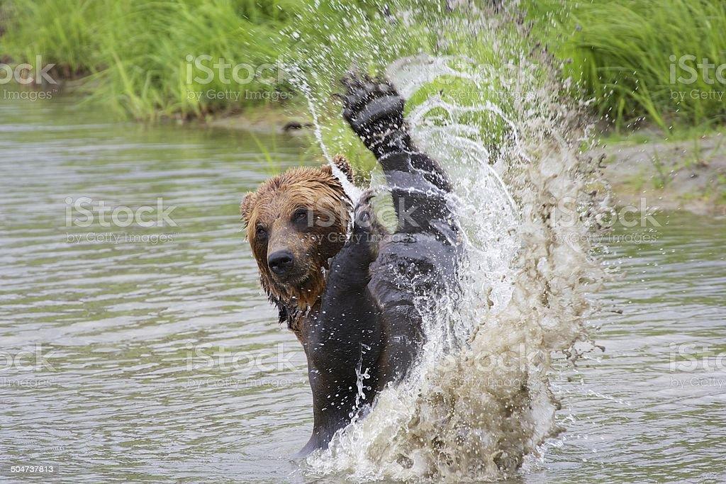 Grizzly water splash – Foto