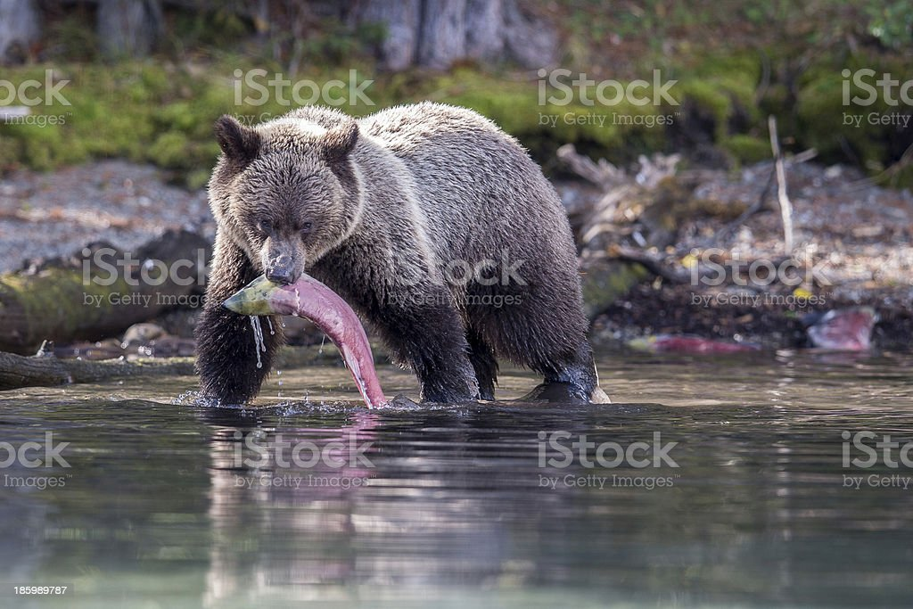 Grizzly with Sockeye royalty-free stock photo