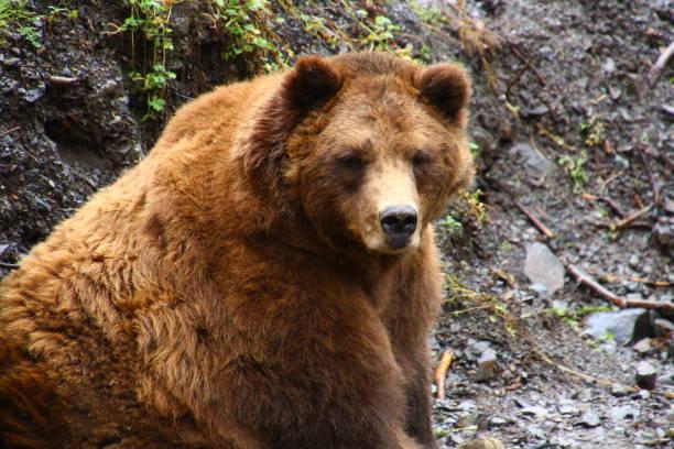 Grizzly-Alaska – Foto