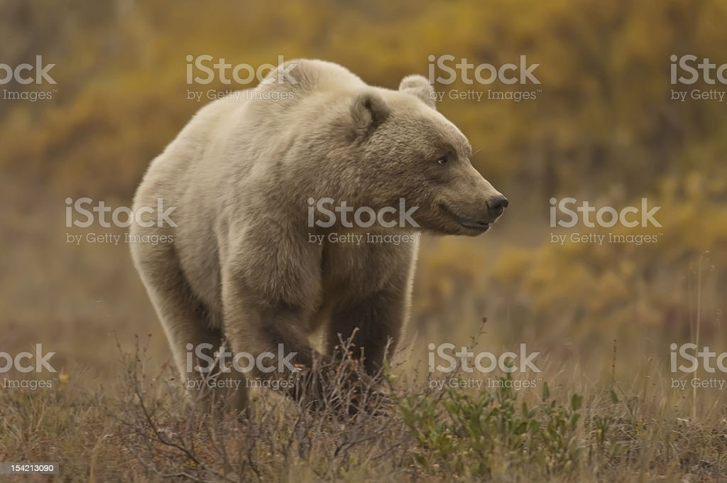 GrizzlySow royalty-free stock photo