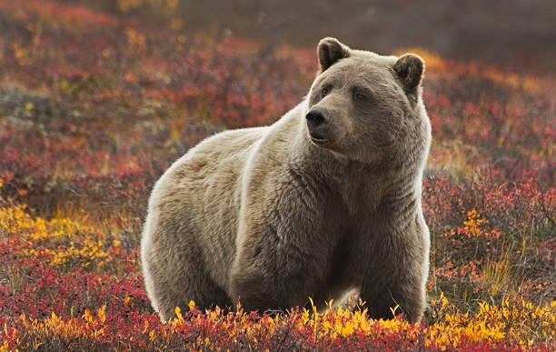 grizzlysow - denali national park bildbanksfoton och bilder