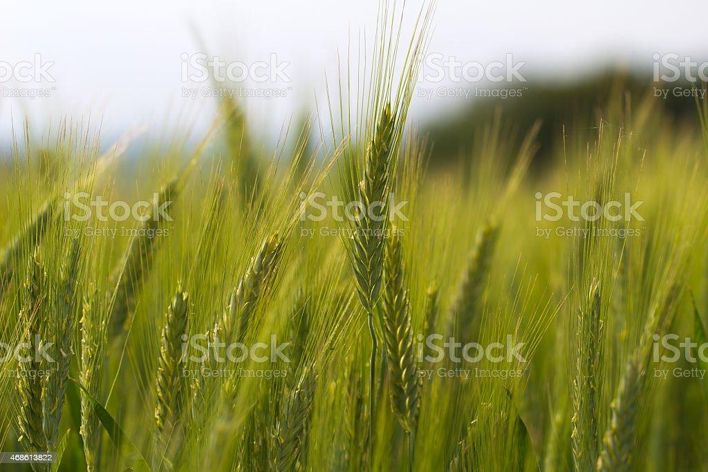 Grüne Ähre stock photo