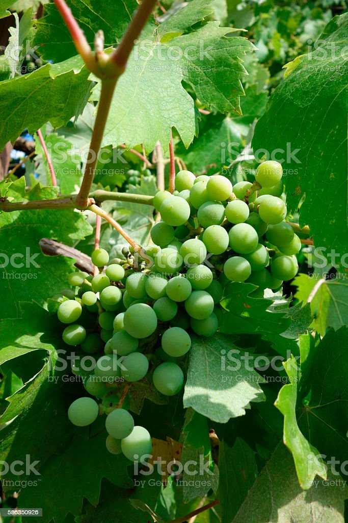 Grüne Weintrauben stock photo