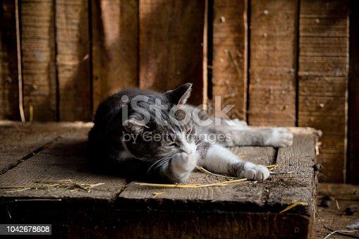 Barn cat is grooming herself