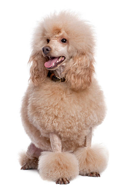 Groomed apricot poodle sitting, panting (2 years old) Groomed apricot poodle sitting and panting (2 years old) against a white background. poodle stock pictures, royalty-free photos & images