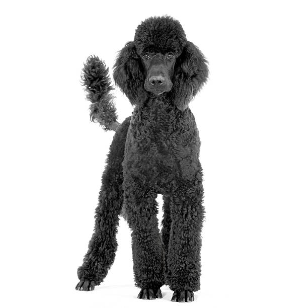 groomed black royal Poodle standing up in front  poodle stock pictures, royalty-free photos & images