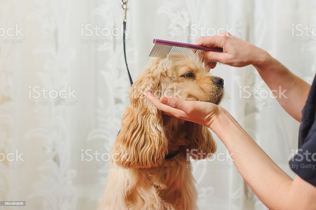 groomer combs dog for grooming stock photo