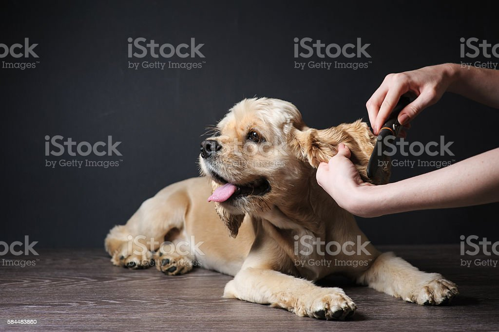 Groomer combs Young purebred Cocker Spaniel stock photo