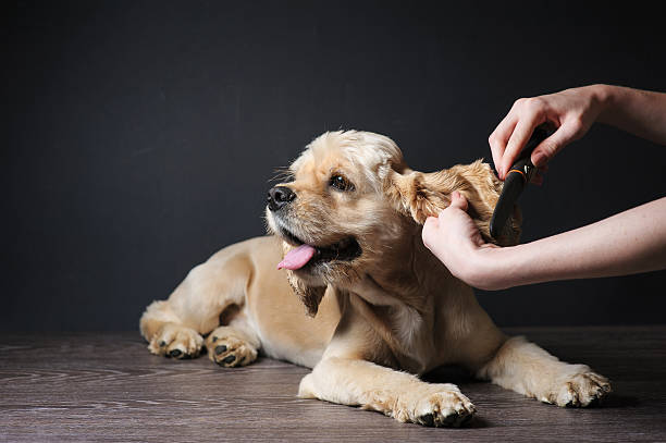 groomer combs young purebred cocker spaniel - 美容師 個照片及圖片檔