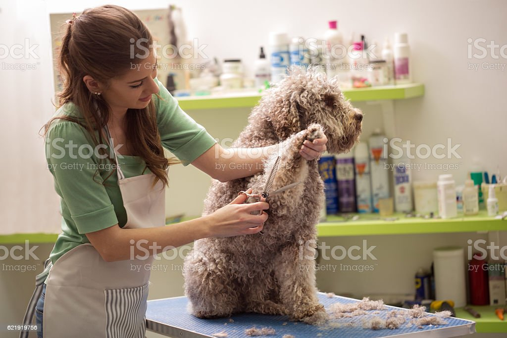 Groomer is cutting a dog hair stock photo