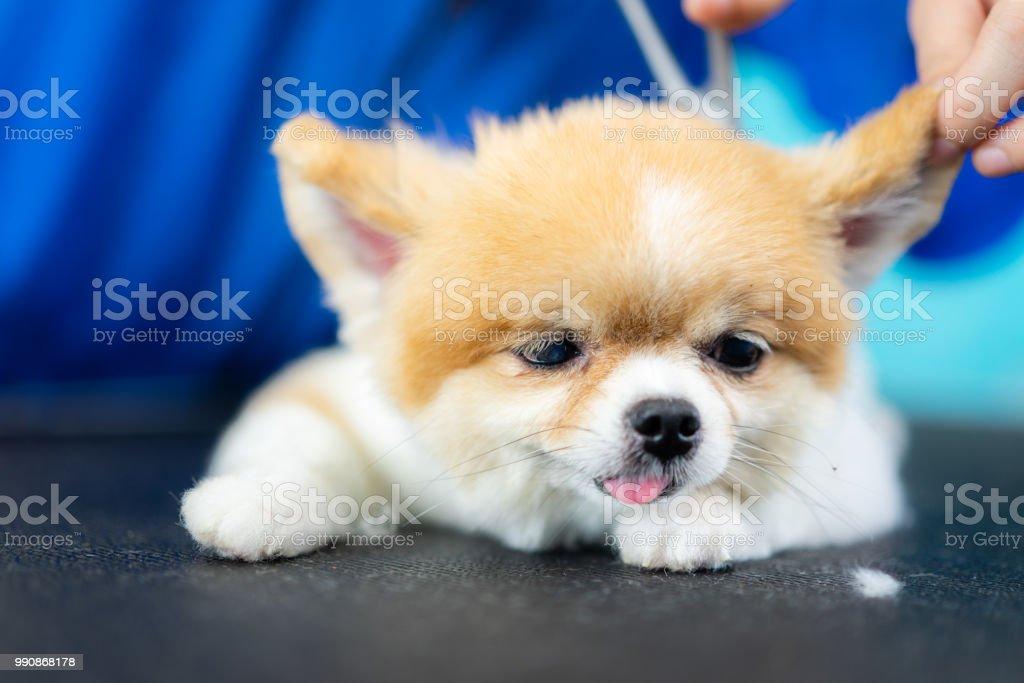 Groomer Man Haircut Cute Pomeranian In Hair Service Dog Grooming Pet
