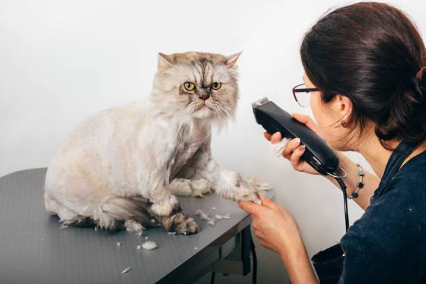 Groomer trimming cat picture id910274602?b=1&k=6&m=910274602&s=612x612&w=0&h=wcuytshnbvm39lx 4evu7kkjnfljnvw uz21goct3r0=
