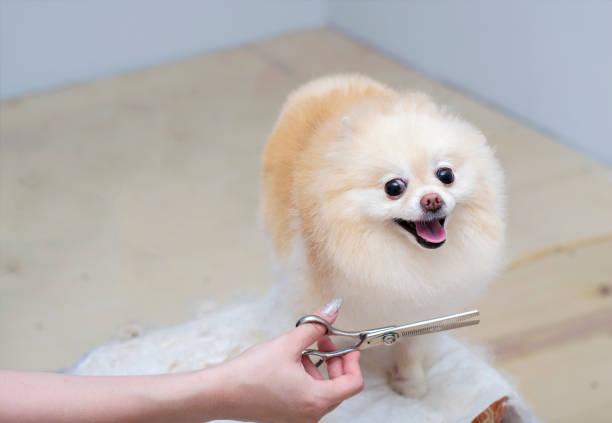 grooming a Pomeranian dog. Closeup of professional groomer  trimming little pomeranian spitz. stock photo