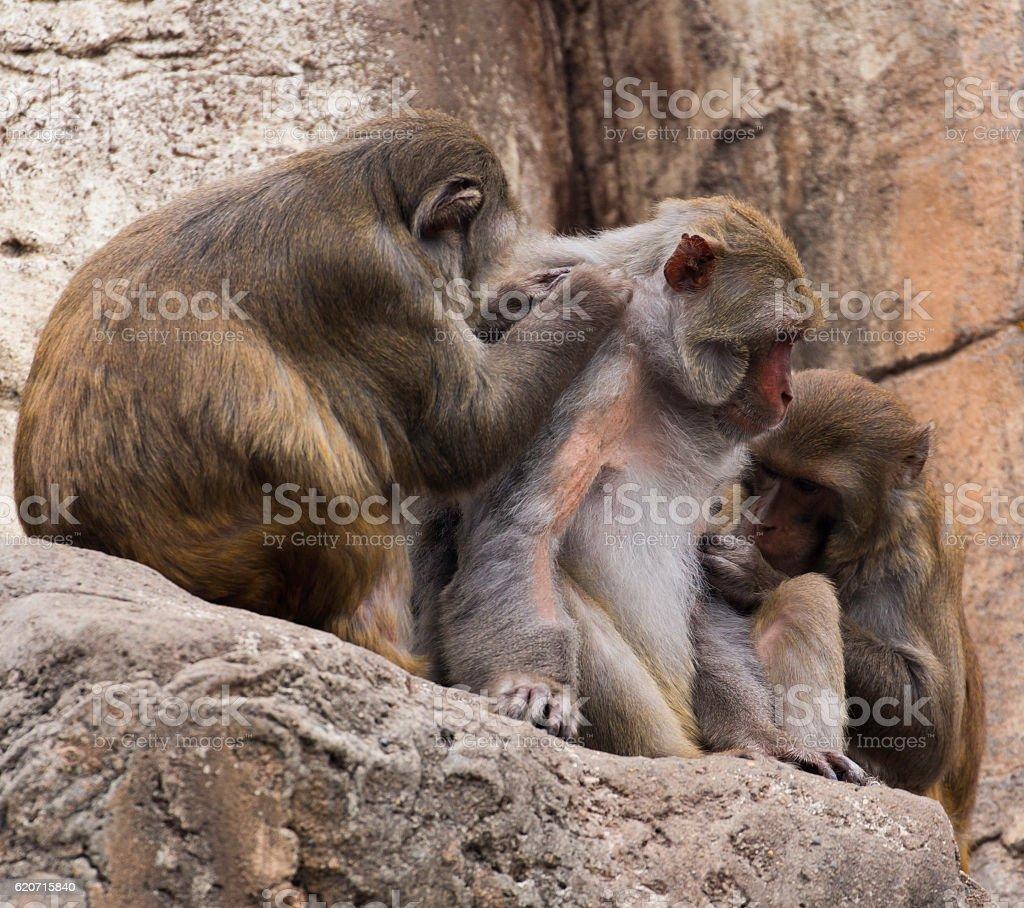 Grooming as friendly social behavior by Rhesus Monkeys stock photo