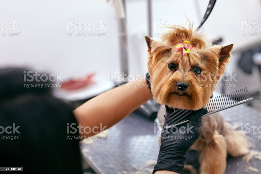 Grooming Dog. Pet Groomer Brushing Dog\'s Hair With Comb At Animal...