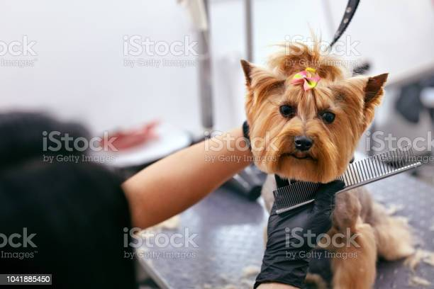 Grooming dog pet groomer brushing dogs hair with comb at salon picture id1041885450?b=1&k=6&m=1041885450&s=612x612&h= roshmhx859yppa7aklfeik9pw0aefl4 ohxtfxzxr8=