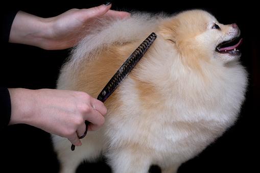 Hunde Pflege Haarschnitt Spitz Pommerschen Professioneller Friseur Friseur Schneidet Das Fell Ein Deutscher Spitzschere Stockfoto Und Mehr Bilder Von