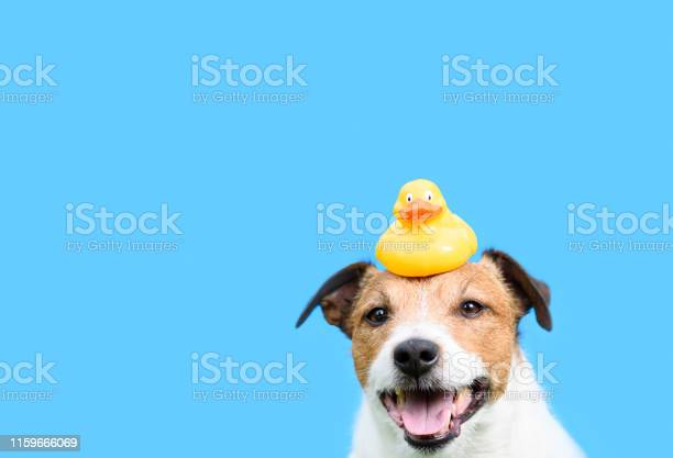 Grooming hygiene and care concept with dog holding yellow rubber duck picture id1159666069?b=1&k=6&m=1159666069&s=612x612&h=vdhiyymrvmzeaclxmj6dnhpn9ml mfsw9dnind  hc8=