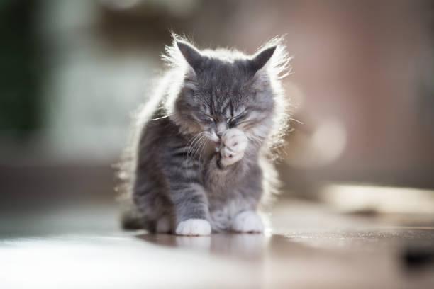 kätzchen im sonnenlicht - grau getigerte katzen stock-fotos und bilder