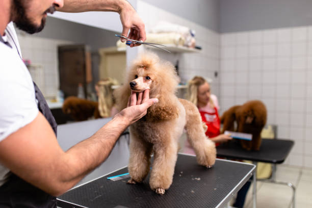 Grooming salon Miniature poodle at grooming salon. poodle stock pictures, royalty-free photos & images